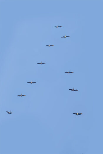 Rick Ryan's Limited Edition, The Azul. Pelicans flying in sky